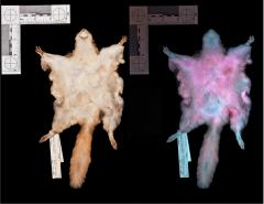 Researchers from Northland College discovered that flying squirrels glow hot-pink under UV light. Researchers from Northland College discovered that flying squirrels glow hot-pink under UV light.
